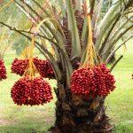 Giá tiền cây Chà Là giống, lùn bao nhiêu 2020? Mua, bán ở đâu giá rẻ uy tín?