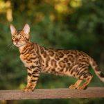 Giá Mèo Rừng Việt Nam bao nhiêu 1Kg 2020? Mua bán ở đâu giá rẻ nhất