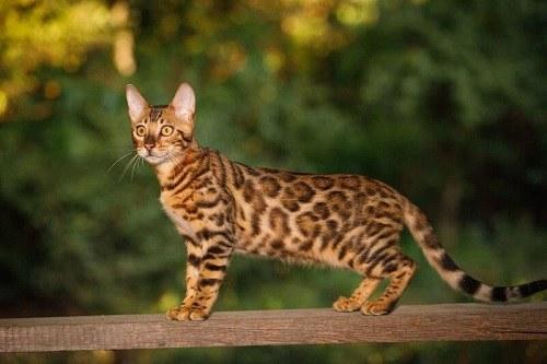 Giá Mèo Rừng Việt Nam bao nhiêu 1Kg 2021? Mua bán ở đâu giá rẻ nhất