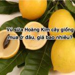 Vú sữa Hoàng Kim cây giống mua ở đâu, giá bao nhiêu?