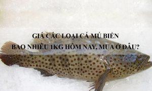 Giá các loại Cá Mú biển bao nhiêu 1Kg hôm nay 2020, Mua ở đâu?
