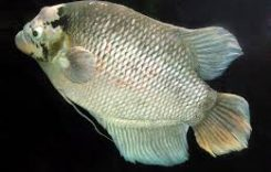 Giá cá Tai Tượng bao nhiêu 1kg 2020? Mua bán ở đâu rẻ?