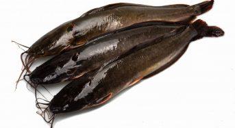 Giá cá Nheo (leo, sông đà) bao nhiêu 1kg 2020? Mua bán ở đâu rẻ?