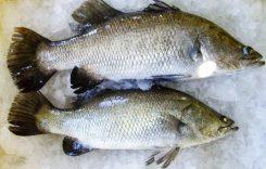 Giá cá Chẽm bao nhiêu 1kg 2020? Mua bán ở đâu rẻ?