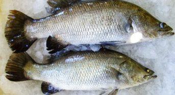Giá cá Chẽm bao nhiêu 1kg 2021? Mua bán ở đâu rẻ?