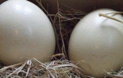 Giá trứng đà điểu bao nhiêu tiền 1 quả 2020? Mua ở đâu tphcm, hà nội?