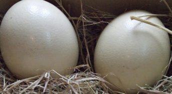 Giá trứng đà điểu bao nhiêu tiền 1 quả 2021? Mua ở đâu tphcm, hà nội?