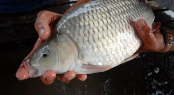 Giá cá chép giòn bao nhiêu 1kg hôm nay 2021? Mua bán ở đâu rẻ?