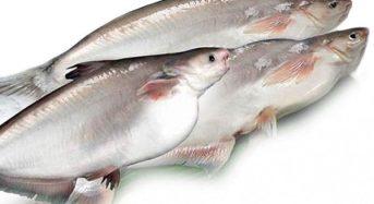 Giá cá Hú bao nhiêu 1kg 2021? Mua bán ở đâu rẻ tươi ngon