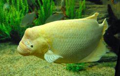 Giá cá Phát tài (size nhỏ, to) bao nhiêu 1kg 2021? Mua bán ở đâu rẻ?