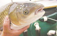 Giá cá Trắm (cỏ đen trắng) bao nhiêu 1kg 2021? Mua bán ở đâu rẻ?