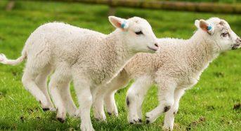 Giá thịt Cừu bao nhiêu tiền 1Kg 2020? Mua bán ở đâu rẻ ngon