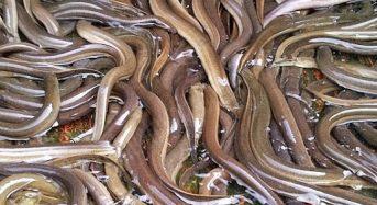 Giá lươn 2021: giá lươn con giống, lươn thịt, thành phẩm bao nhiêu 1kg?