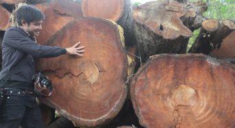 Giá gỗ xà cừ hôm nay năm 2021 bao nhiêu m3, mua ở đâu?