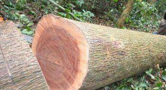 Giá gỗ Xoan đào bao nhiêu 2021? Mua ở đâu tốt rẻ?