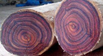 Gỗ Huỳnh đàn là gỗ gì? Tốt không? Giá bao nhiêu 1m3 2021? Mua ở đâu?