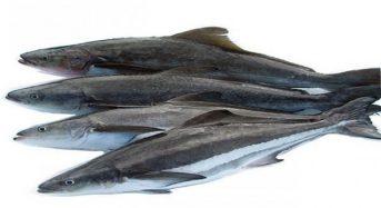 Giá cá bớp hôm nay bao nhiêu tiền 1kg 2021? Mua ở đâu?
