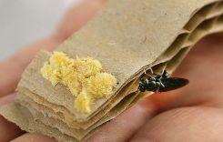 Giá trứng Lính ruồi đen bao nhiêu tiền 2021? Mua bán ở đâu rẻ