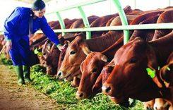 Top 5 Trang trại bò giống lớn nhất Việt Nam 2021