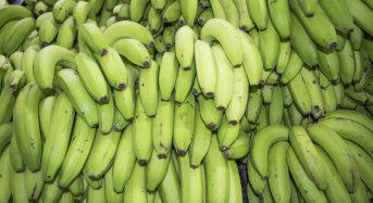 Giá chuối (xuất khẩu/ăn) hôm nay bao nhiêu 1kg 2021? Mua ở đâu tphcm hà nội?