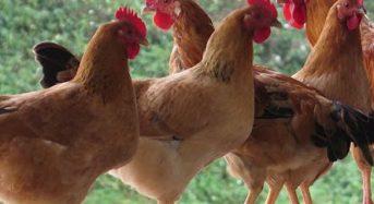 Giá gà ta thả vườn hôm nay bao nhiêu 1kg thịt, 1con 2021? Mua ở đâu?