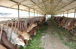 Top 6 Trang trại bò thịt lớn nhất Việt Nam 2021