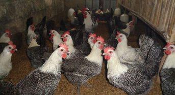 Giá gà Ai Cập siêu đẻ trứng bao nhiêu 1kg thịt, con giống 2021?