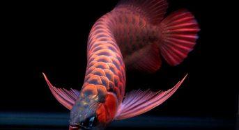 Top 7 Thức ăn cho cá Rồng con lên màu đẹp nhất 2021